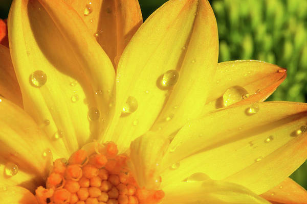 Photograph - Dew Drops On Yellow Daisy by SR Green