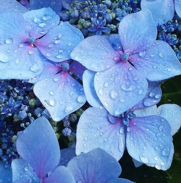 Hydrangea Photograph - Dew Drops by Xochi Hughes Madera
