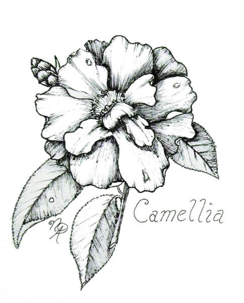 Drawing - Dew Kissed Camellia by Nicole Angell