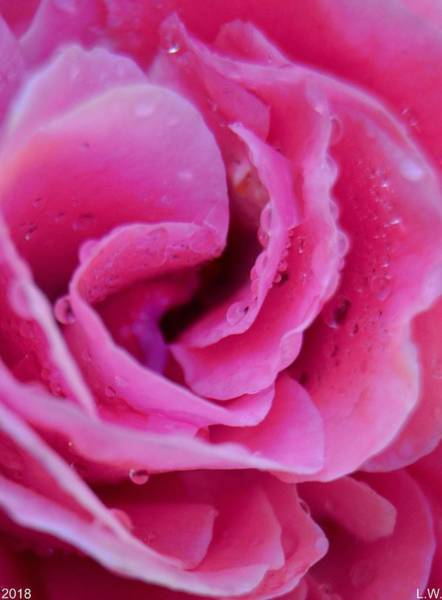 Photograph - Dew On A Rose by Lisa Wooten