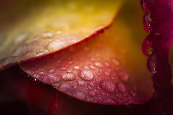 Photograph - Dew On A Rose by Robert Potts