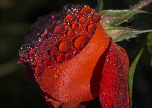 Photograph - Dew On Red Rose by Robert Potts