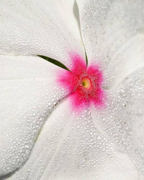 Photograph - Dew-sprinkled Periwinkle by KJ Swan