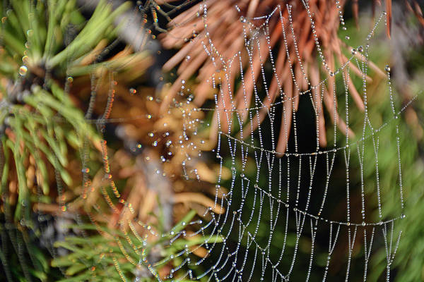 Photograph - Dew Web And Pine Needles by Bruce Gourley