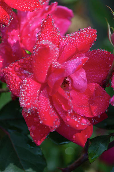 Wall Art - Photograph - Bejeweled Knock Out Roses by Suzanne Gaff