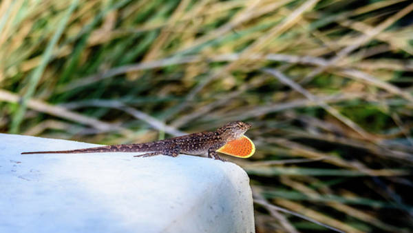 Brown Anole Wall Art - Photograph - Dewlap Display Of A Brown Anole by Debra Martz