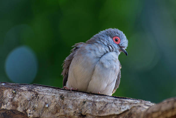 Photograph - Diamond Dove by John Poon