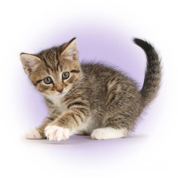 Photograph - Diamond Kitten by Warren Photographic