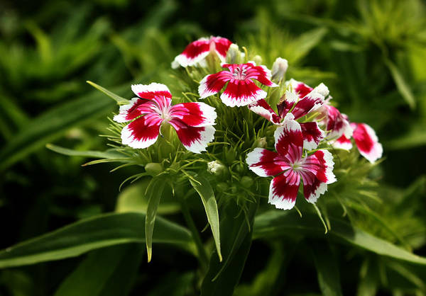 Wall Art - Photograph - Dianthus Barbatus by Barbara  White