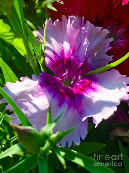 Dianthus Carnation Art Print