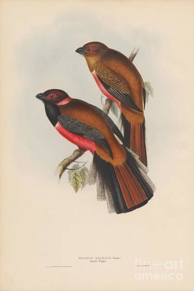 Painting - Diard's Trogon by Celestial Images