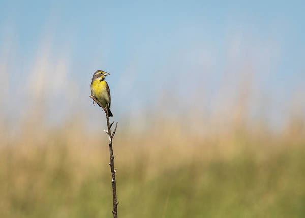 Wall Art - Photograph - Dickcissel 2017-1 by Thomas Young