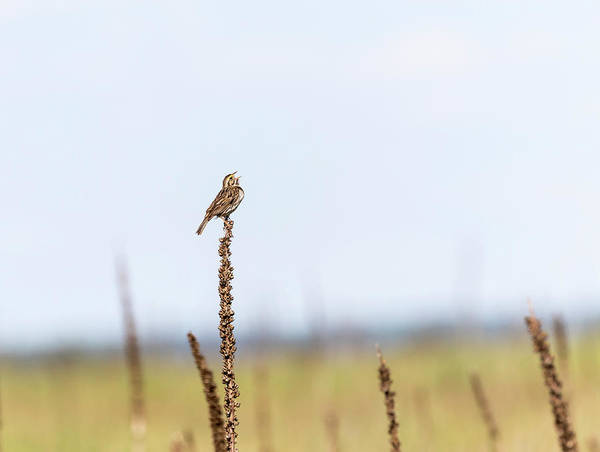Wall Art - Photograph - Dickcissel 2017-3 by Thomas Young