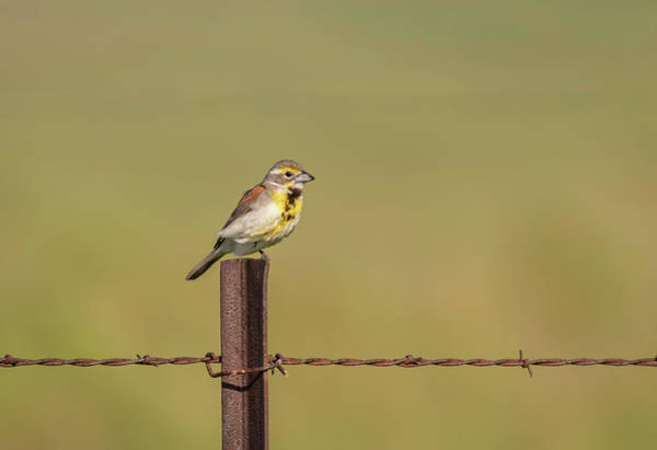 Wall Art - Photograph - Dickcissel 2017-4 by Thomas Young
