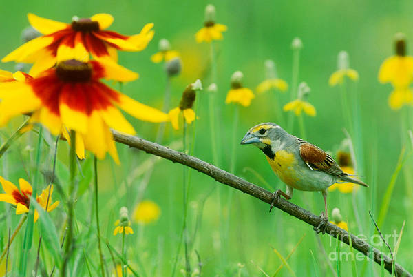 Photograph - Dickcissel by Karl Maslowski