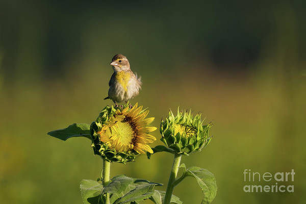 Photograph - Dickcissel Sunflower by Andrea Silies
