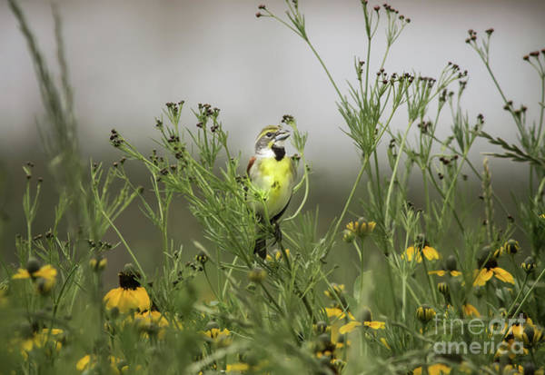 Bird Watcher Photograph - Dickcissel With Mexican Hat by Robert Frederick