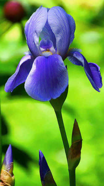 Photograph - Dierker Road Iris by Beth Akerman
