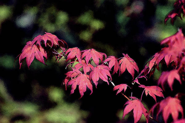 Photograph - Digital Painting Japanese Maple 3156 Dp_2 by Steven Ward