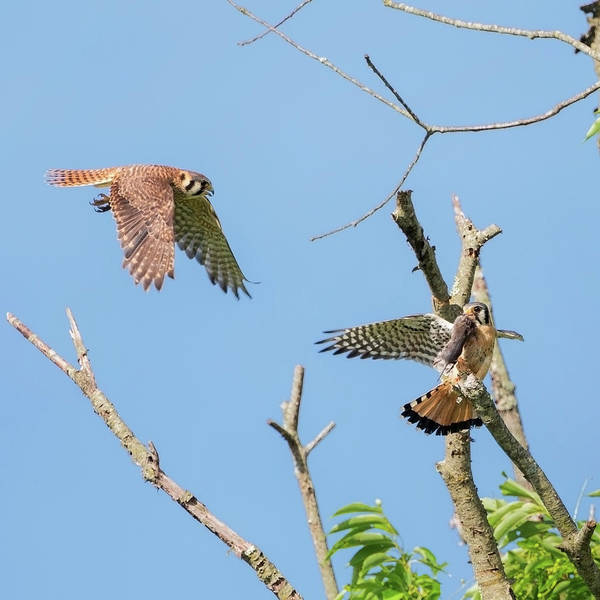 Photograph - Dinner Time For The Kestrels Square by Bill Wakeley