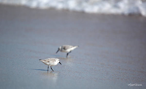 Photograph - Dinner Time Sandpipers Feeding Delray Beach Florida by Michelle Constantine