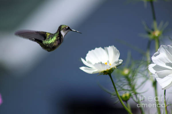 Photograph - Dip And Sip  by Cathy Beharriell