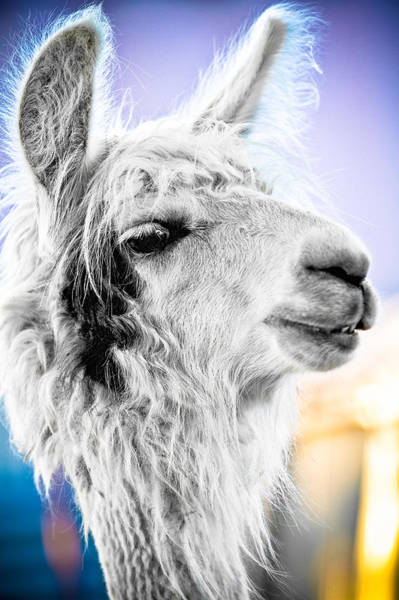 Bad Hair Wall Art - Photograph - Dirtbag Llama by TC Morgan