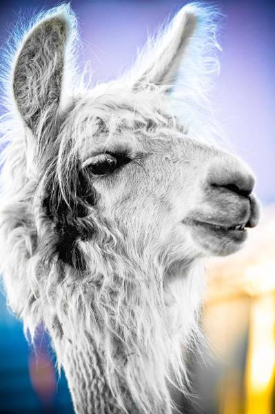 Photograph - Dirtbag Llama by TC Morgan