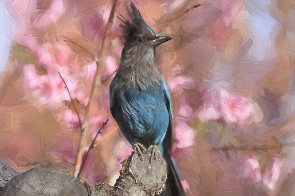 Blue Jay Photograph - Dirty Bird - Stellers Jay by Donna Kennedy