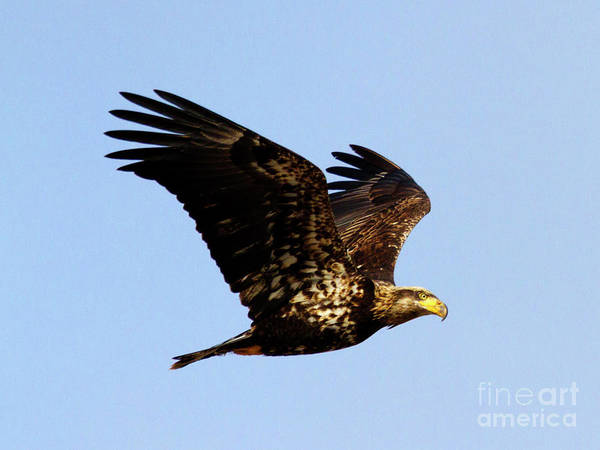 Wall Art - Photograph - Dirty Face Eagle by Mike Dawson