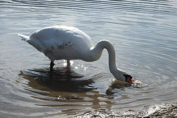 Photograph - Dirty Swan by Marc Philippe Joly