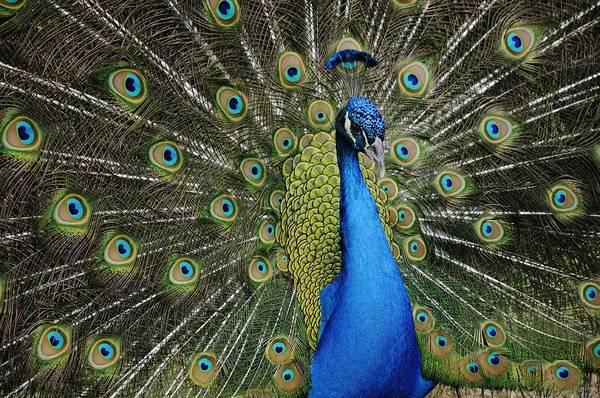 Photograph - Displaying Peacock Portrait by Bradford Martin
