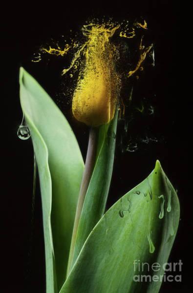 Wall Art - Photograph - Dissolving Tulip by Erik Brede
