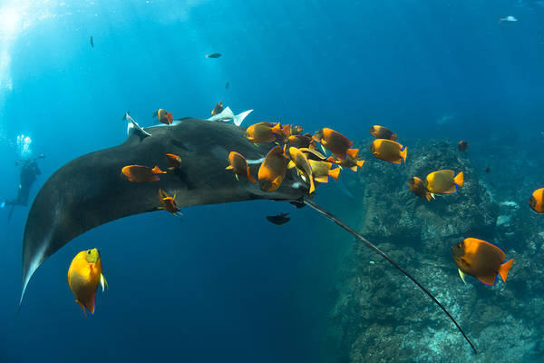 Clarion Photograph - Diver At The Cleaning Station by David Valencia