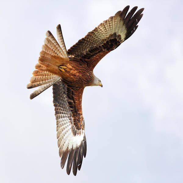 Photograph - Diving Bird Of Prey by Grant Glendinning