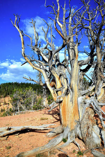 Photograph - Dixie Bristlecone by Ray Mathis