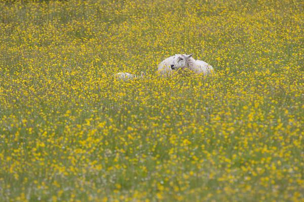 Photograph - Do Ewe Like Buttercups? by Karen Van Der Zijden