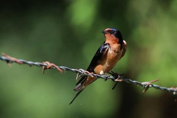 Photograph - Do You Like My Profile Said The Barn Swallow by Carol Montoya