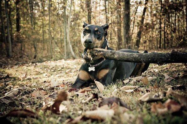 Doberman Photograph - Doberman Lunch by Melissa  Riggs
