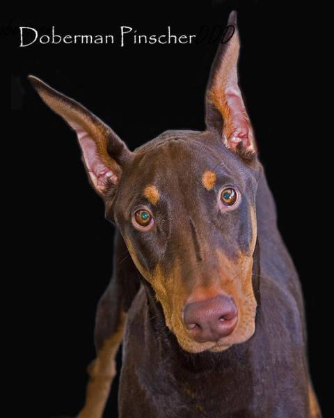 Doberman Photograph - Doberman Pinscher by Larry Linton
