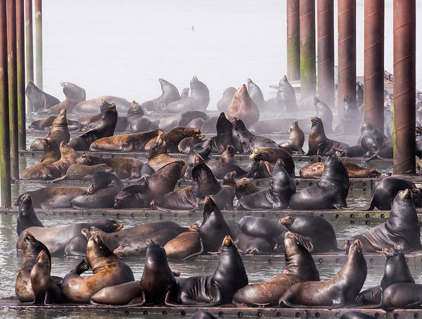 Photograph - Docked Sea Lions by Robert Potts