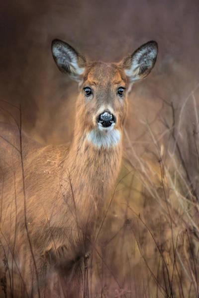 Photograph - Doe A Deer by Robin-Lee Vieira