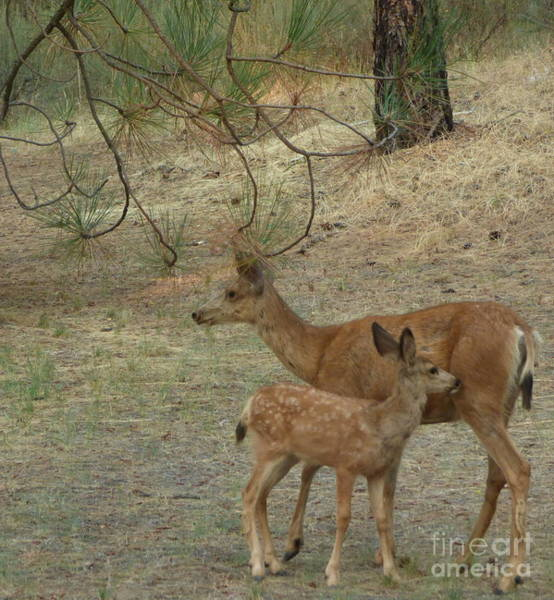 Photograph - Doe And Fawn by Charles Robinson