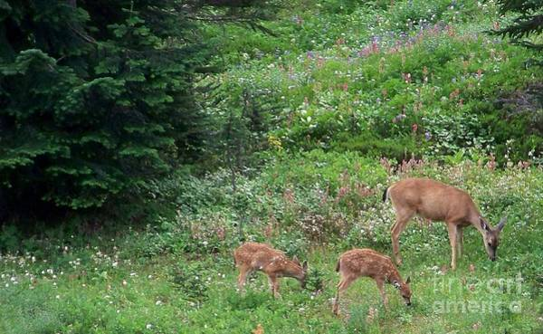 Photograph - Doe And Twin Fawns by Charles Robinson