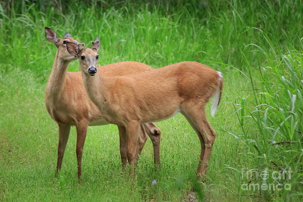 Photograph - doe and Yearling Buck by Richard Smith