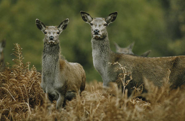 Photograph - Doe And Young Deer by Steve Somerville
