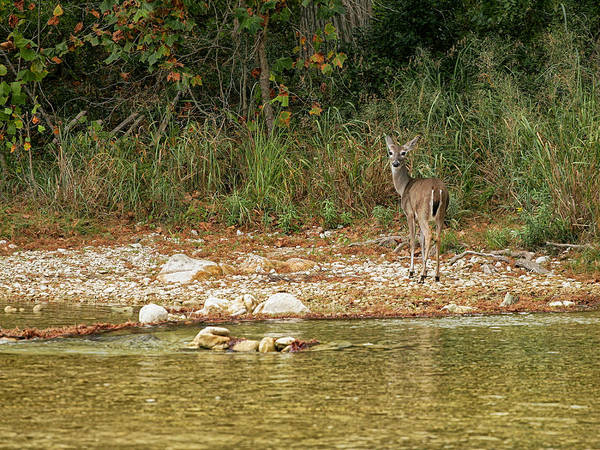Photograph - Doe By The Creek by Charles McKelroy