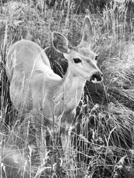 Photograph - Doe Grazing by Pacific Northwest Imagery