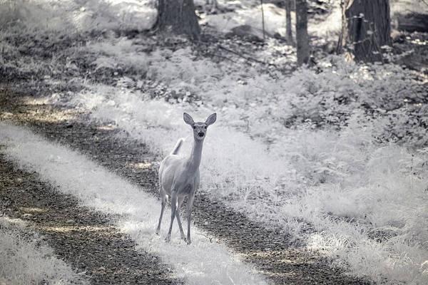 Photograph - Doe In Infrared by Brian Hale