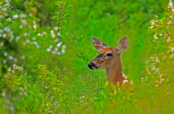 Photograph - Doe In Springtime by William Jobes